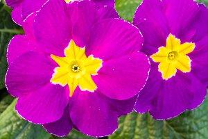Pink flowering  primrose