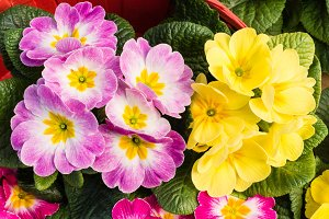 Pink and yellow primroses