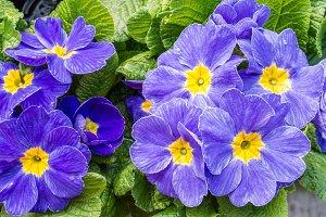 BLue primrose flowers