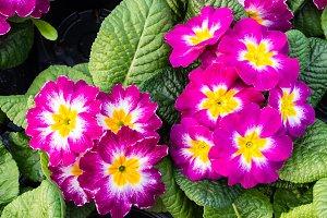 Magenta primrose flowers