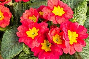 Red primrose flowers