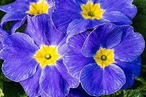 Blue flowering primrose