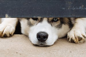 Husky's dog waits for the owner and peeks out from under the fence