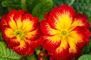Red and yellow primrose flowers