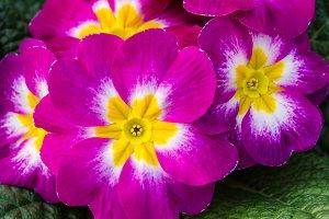 Magenta flowering primroses