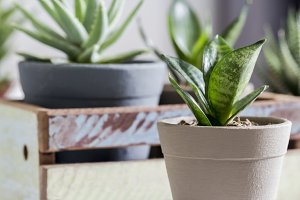 Snake plant in pot at home