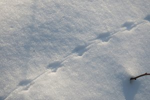 Field mouse trace on snow