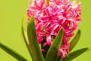 Hyacinth flower blooming
