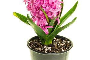 Pink hyacinth in flower