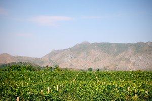 The vineyard in Thailand