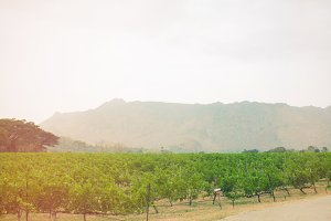 Vineyard in Thailand