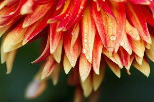 Dahlia petals with rain