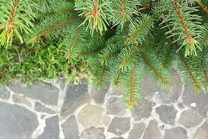 Christmas green pine fir spruce branch