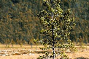 Fir tree single object bokeh background
