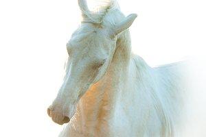 perlino akhal-teke horse