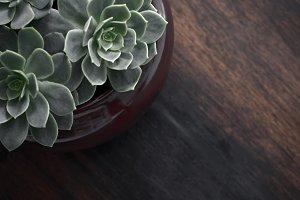 Tiny Succulent plants in a pot