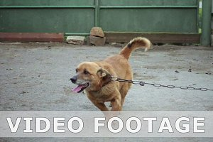 Dog on a chain of barks jumps in slow motion