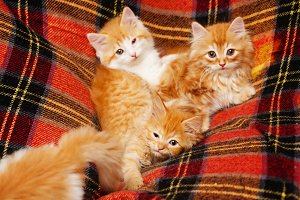 Four kittens hide in the folds