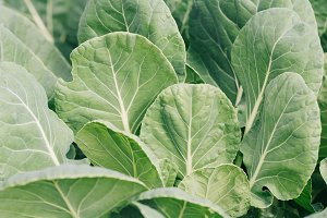 Close-up of cabbage growing on the ground
