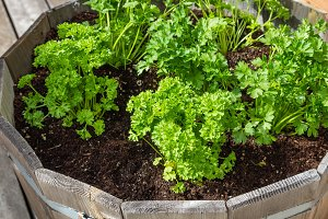 Container growing of parsley