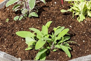 Sage plants in a container