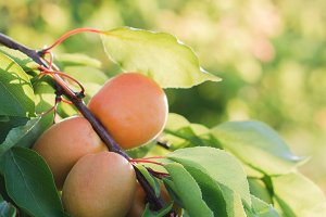 Peaches on the branch in the orchard