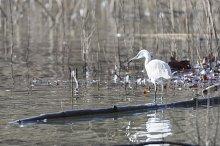 Common Egret, Egretta garze