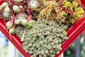 Container garden with sedum plants