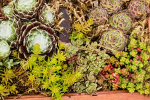 Sedum plants growing