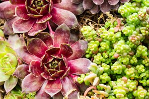 Group of sedum plants
