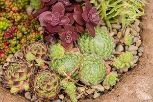Green roof sedum plants