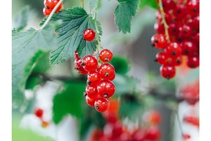 Macro photo of a red currant in the garden