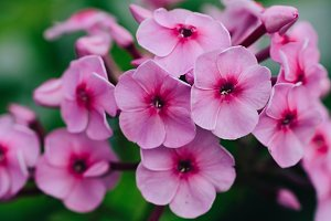 Macro picture of a pink verbena.