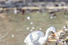 Common Egret, Egretta garzetta
