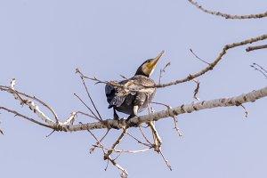 Cormorant, Phalacrocarax