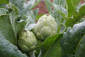 Natural artichokes