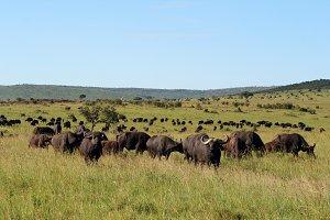 Bufalos in Africa, Masai Mara
