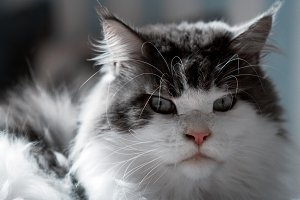 Maine Coon cat close-up.