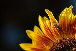 Bee on sunflower petals.