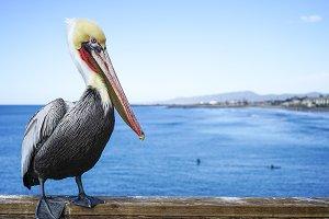 OCEANSIDE CALIFORNIA PELICAN