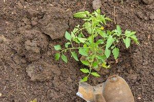 Gardener planting a tomato plant