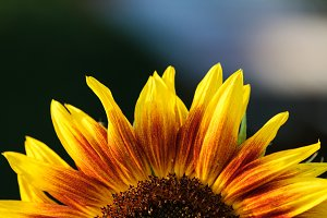 Sunflower petals in nature.