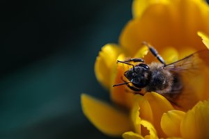 The bee sits in a yellow bud.