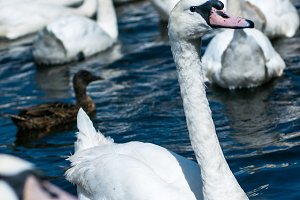Swans on Alster lake near the Town Hall. Hamburg, Germany