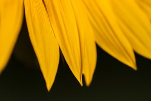 Petals of a sunflower close-up.