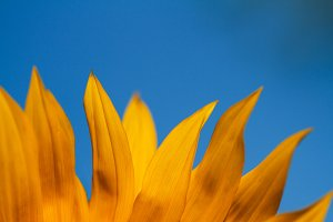 Sunflower petals against the sky.
