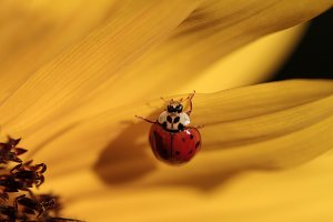 Ladybird on a yellow flower.
