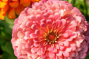 Flowers of zinnia in garden