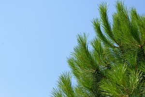 Green branches of pine tree
