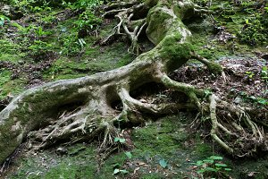 Roots of old tree covered with moss